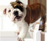 Image of a bulldog puppy.
